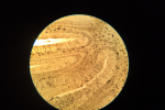 Mausgehirnuntermikroskop